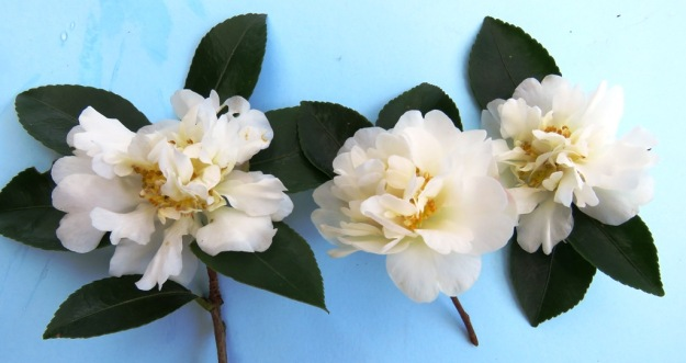 Camellia sasanqua Silver Dollar - an excellent hedging option