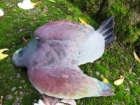 Poor kereru died after flying into a window
