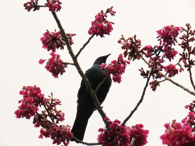 Tui in the cherry tree