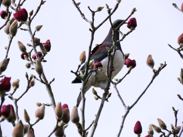 Kereru feasting on Magnolia Vulcan buds