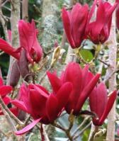 Magnolia 'Burgundy Star'