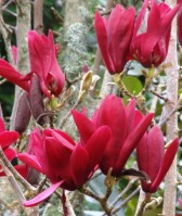 Magnolia 'Burgundy Star'