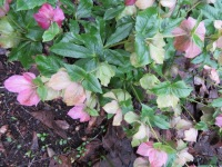 Too often the reality of the hellebore plant can look like this