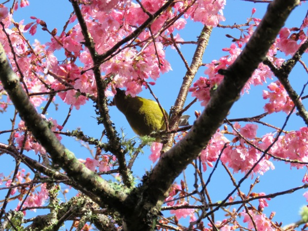 Shy korimako in Prunus Pink Clouds. It was soon banished by the bullying tui