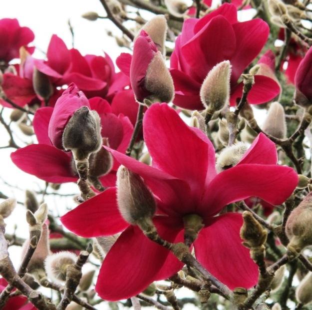 Magnolia 'Vulcan'