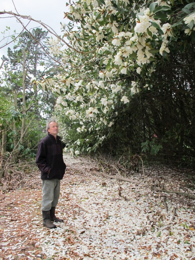 Mark Jury standing on a carpet of fallen scented petals, surveying one of his early shelter belts planted with michelia hybrids