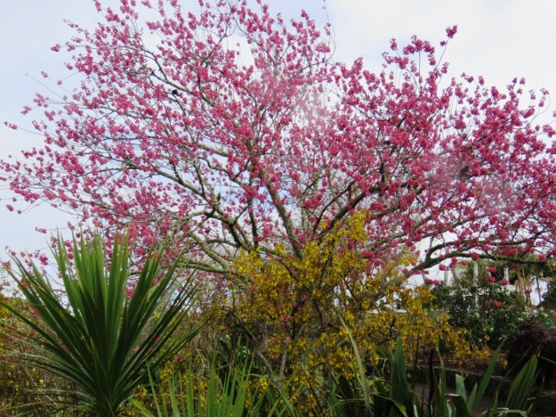 Bright yellow kowhai and cerise campanulata cherry at Auckland Botanic