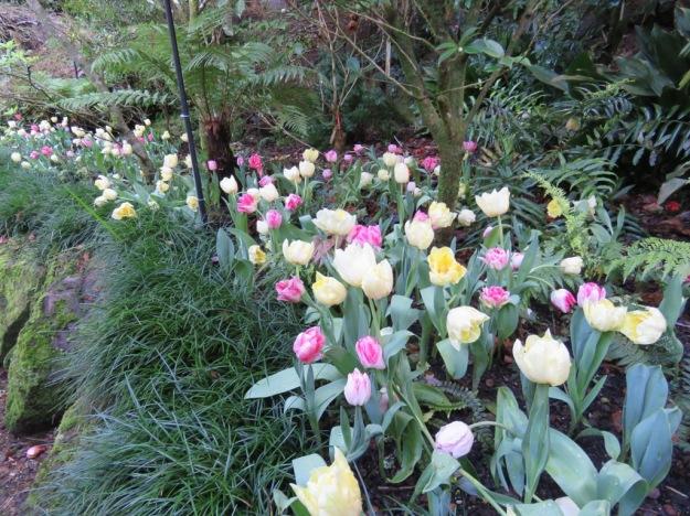 Pastel hued tulips at Eden Gardens