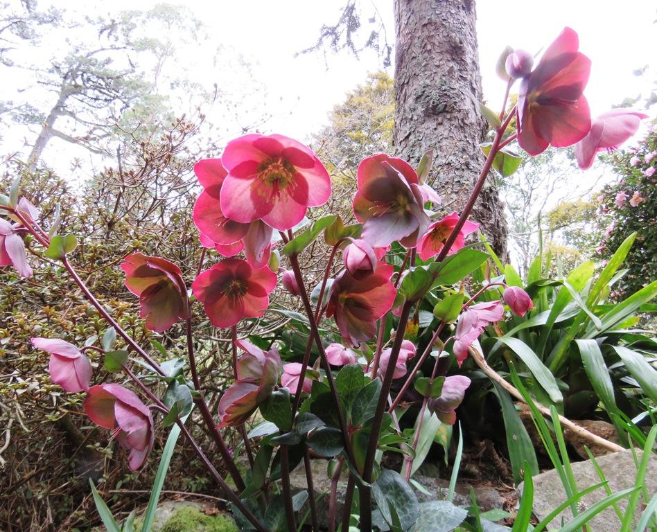 Hellebore Anna's Pink
