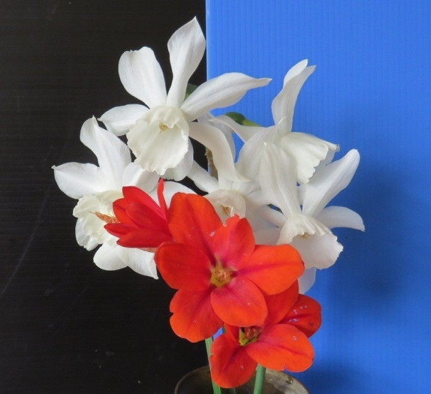 Red Peak in Narcissus Thalia and what I think is a tritonia, not  a sparaxis