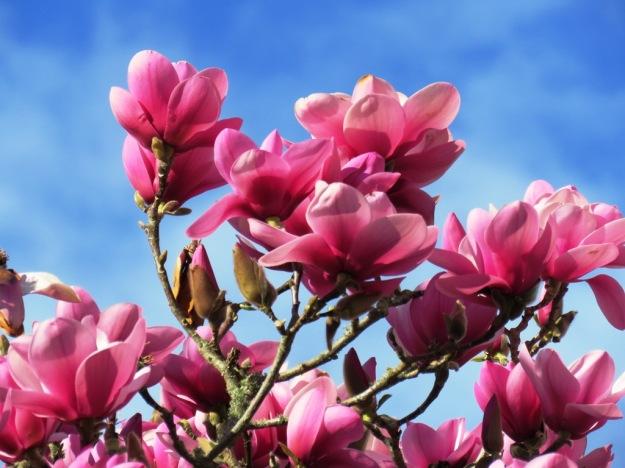 Magnolia Serene