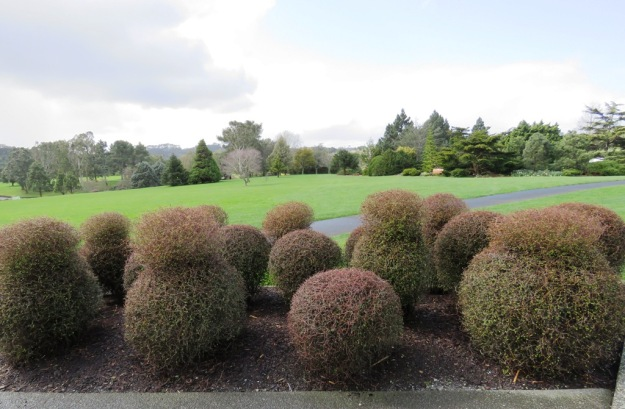 Muehlenbeckia astonii, featuring prominently at Auckland Botanic Gardens