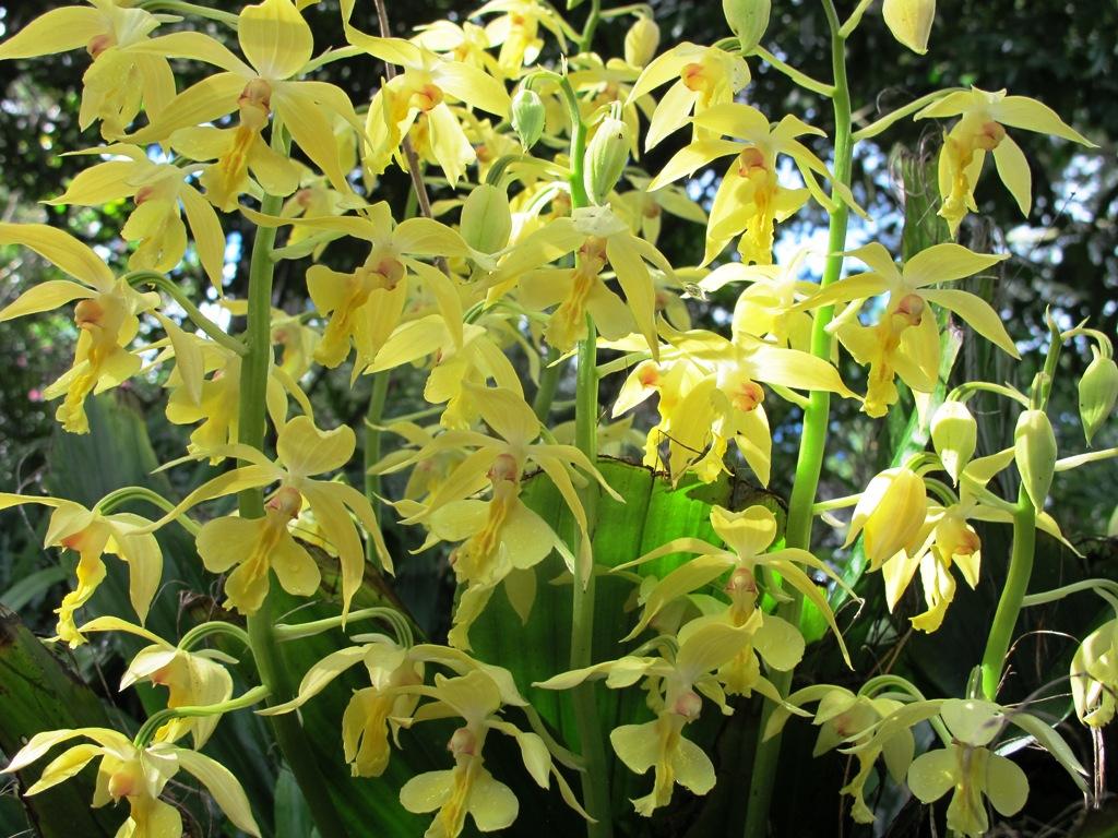 Calanthe orchid - Copy