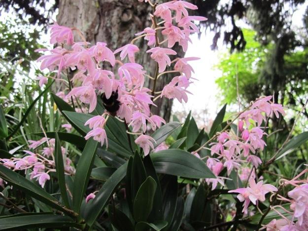 Pleione Orchids Tikorangi The Jury Garden