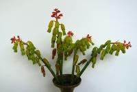 L. aloides tricolor