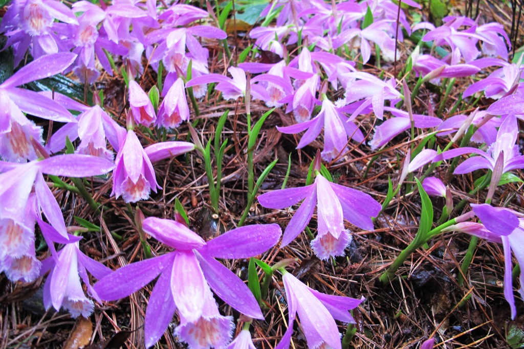 Pleione orchids in the woodland