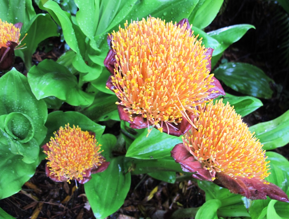 The lesser known Scadoxus puniceus