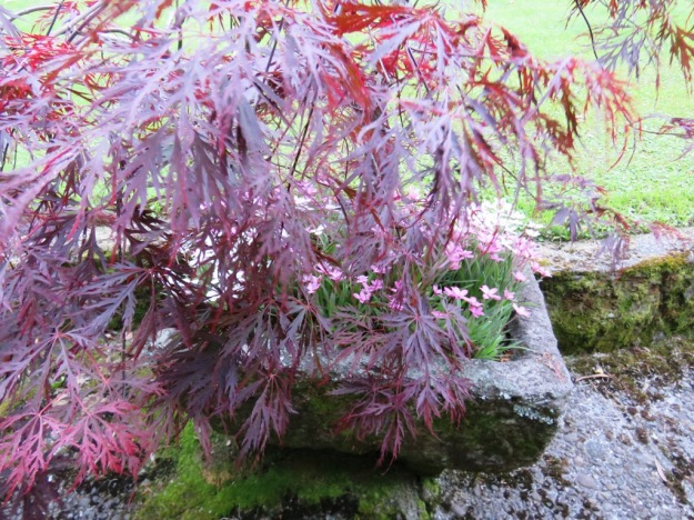 The stone trough dates back to the 1800s. With Japanese maple and rhodohypoxis
