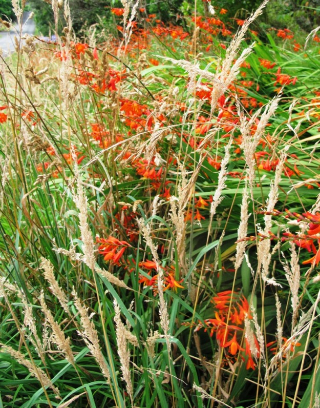 Crocosmia - weed or woldflower?