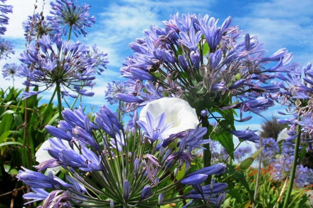 Agapanthus with the dreaded convolvus - the latter is pretty in flower but we do not need it