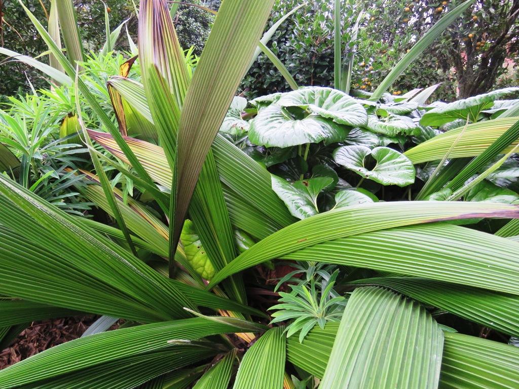 Curculigo, euphorbia and Ligularia reniformis, lush enough to pretend to be tropical and low maintenance