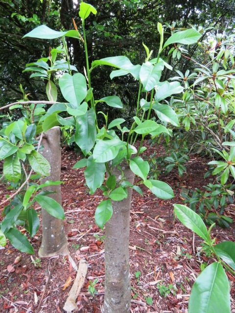 Well established michelia hybrids respond to hard pruning with abundant fresh growth