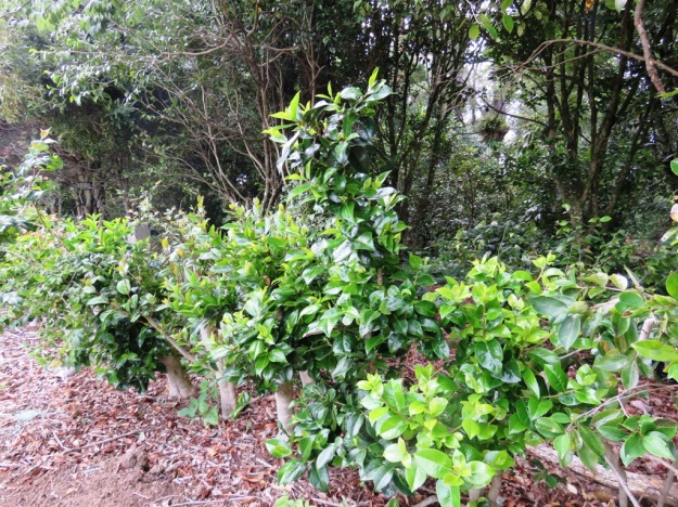 Camellias severed to bare stumps 6 months ago