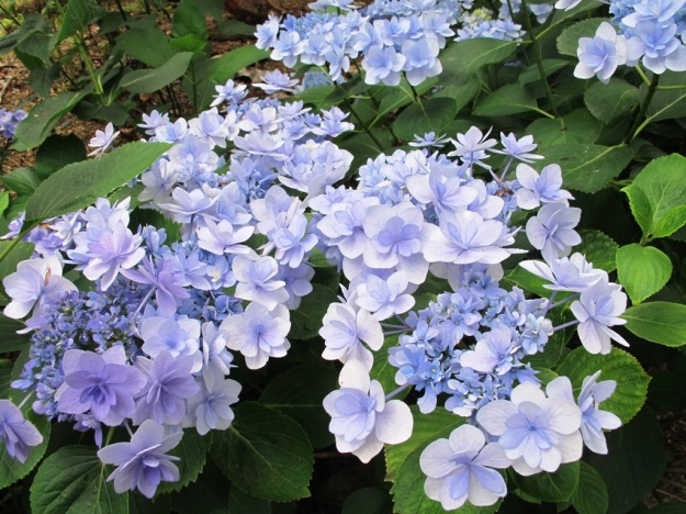 One of the You-Me series of hydrangeas
