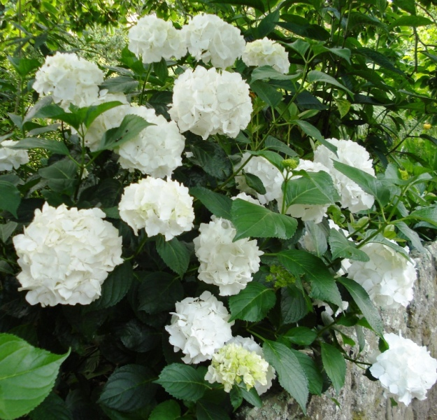 Hydrangea 'Immaculata' – a top performing compact, white macrophylla