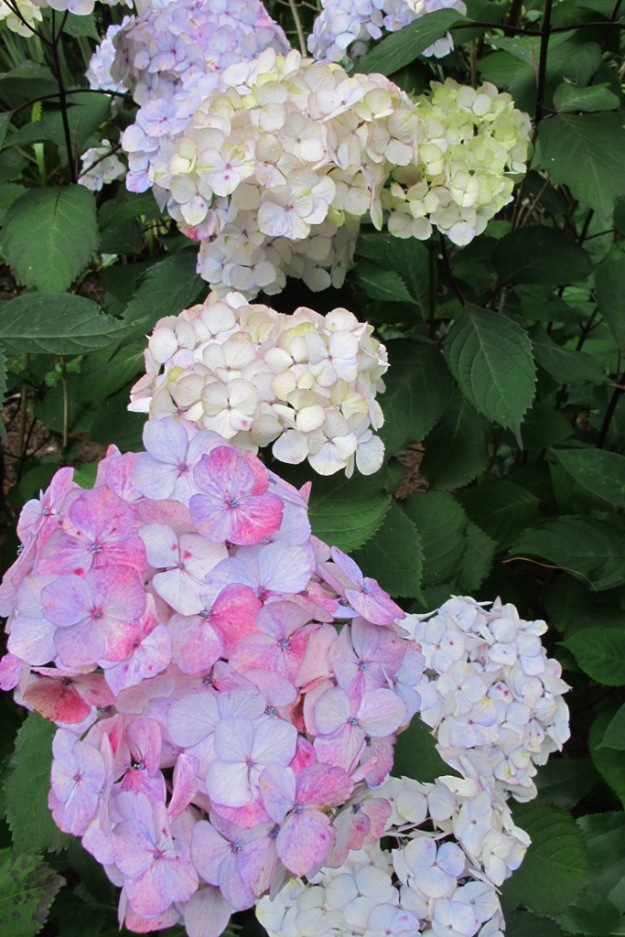 Hydrangea serrata 'Preziosa'  changes flower colour through the season