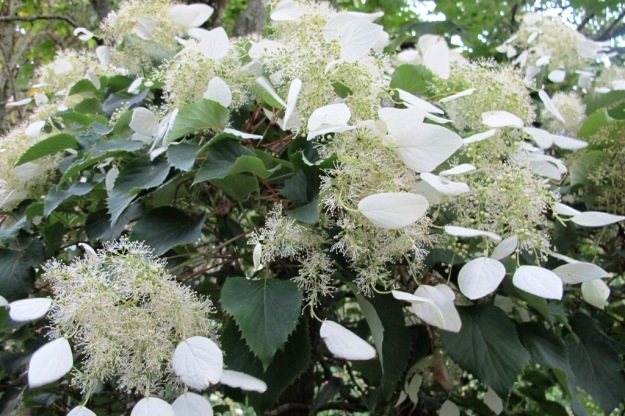 We prefer Schizophragma hydrangeoides to the climbing Hydrangea petiolaris