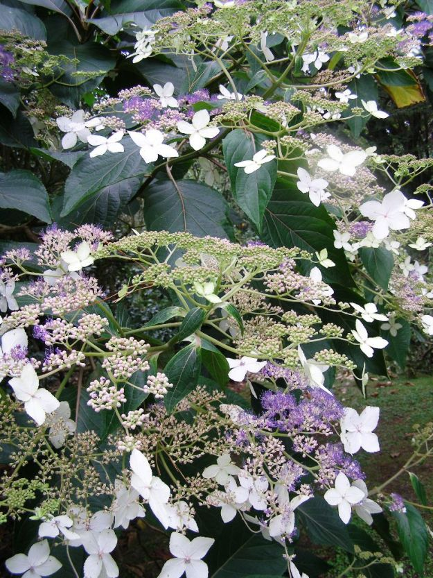 The magnificent tree hydrangea, probably a form of H. aspera