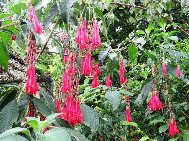 Fuchsia boliviana performs TOO enthusiastically in our climate