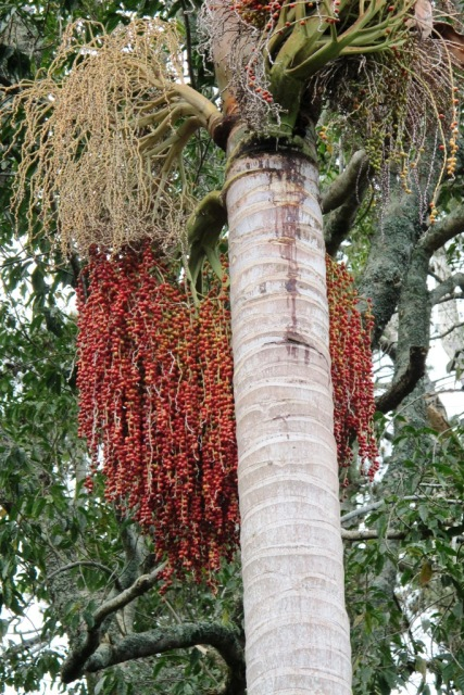 About the bangalow palm's seeding ways...