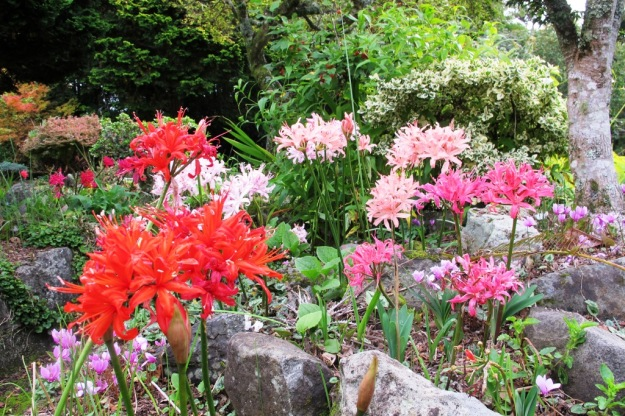 Nerine sarniensis hybrids blooming in the rockery
