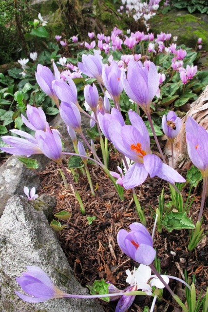 Autumn crocus (species unknown) with cyclamen hederafolium