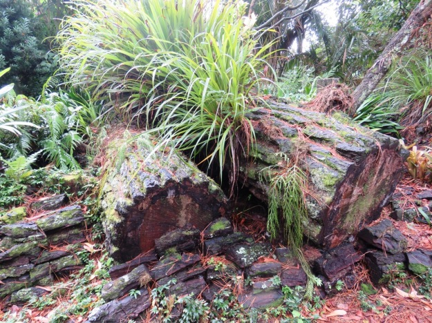 Allowing nature to create a stumpery – two pine logs left where they fell