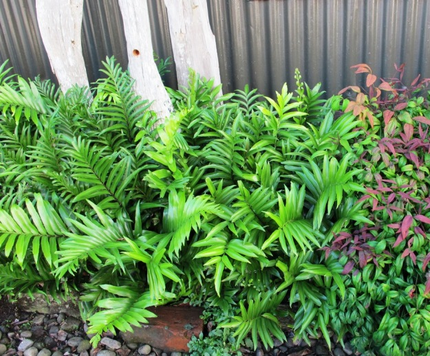 A small stumpery (or stumpette) in a narrow, shaded border in Pat and Brian Woods garden in Waitara