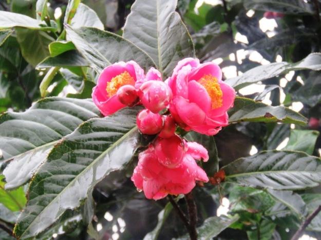 Camellia amplexicaulis