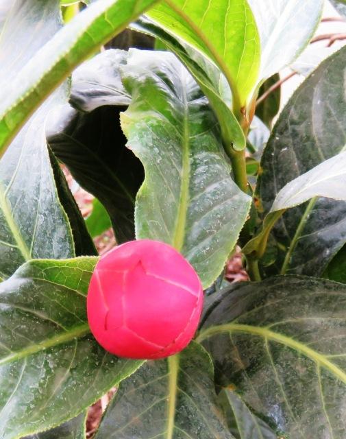 Camellia amplexicaulis in bud