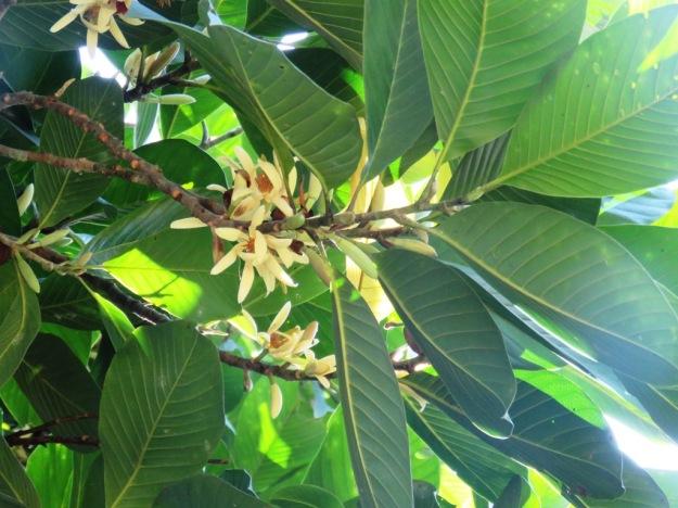 Tropical Magnolia balansae