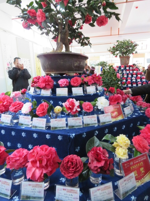 The Chinese national camellia show was staged in a temple in the heart of Dali Old Town. The yellow cultivars stood out amongst the more usual pinks, reds and whites