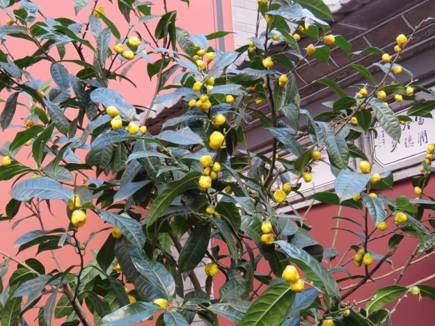 There was a fine specimen of C. nitidissima in the Confucian temple gardens in Dali. The heavy textured buds look more like hanging fruit than emerging flowers. Our plant at Tikorangi has never bloomed this freely.