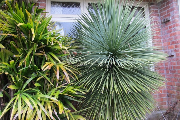 Yucca whipplei did at least give total privacy from garden visitors when sitting indoors