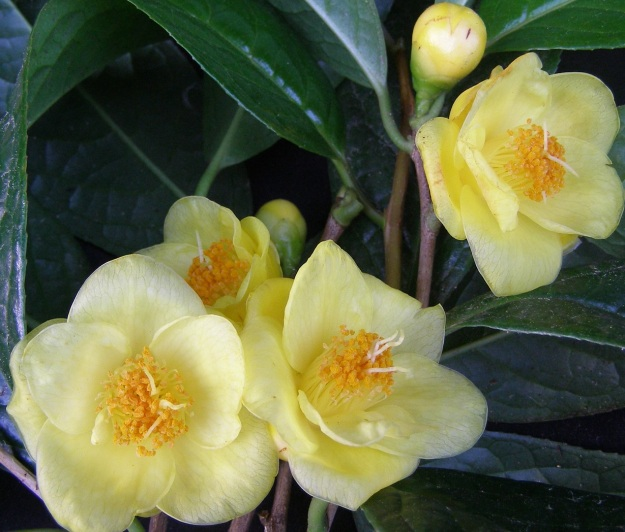 Camellia nitidissima (or chrysantha) – the one good flowering we have had on our plant in 2011