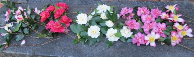 Sasanqua camellias
