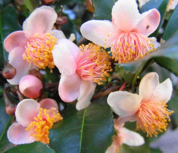Pink form of C. sinensis
