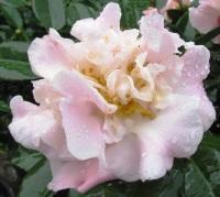 Camellia High Fragrance  (photo by Tony Barnes)