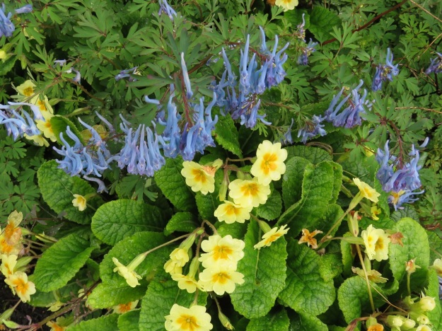I like the yellow polyanthus with blue corydalis but the polyanthus need relatively frequent lifting and dividing to stay looking good