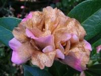 Camellia petal blight